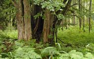 Pomniki przyrody Puszczy Rominckiej